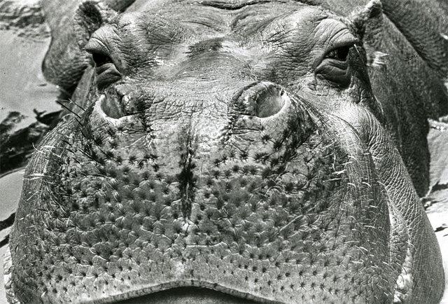 カバの画像 p1_38